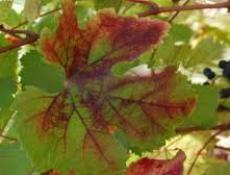 Лечение сада — болезни винограда в картинках и фото.